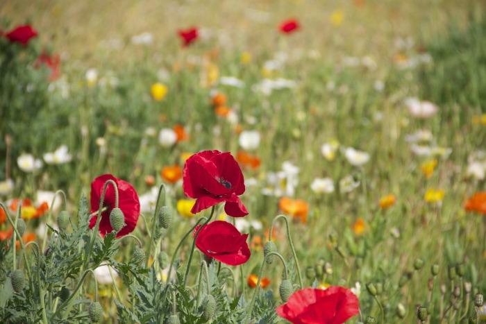 Arvenses, flores silvestres