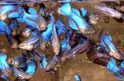 budidaya ikan cupan aduan, cara budidaya ikan cupan, harga ikan cupan hias, ikan cupan hias termahal, jenis ikan cupan hias, makanan ikan cupan, Cupan,
