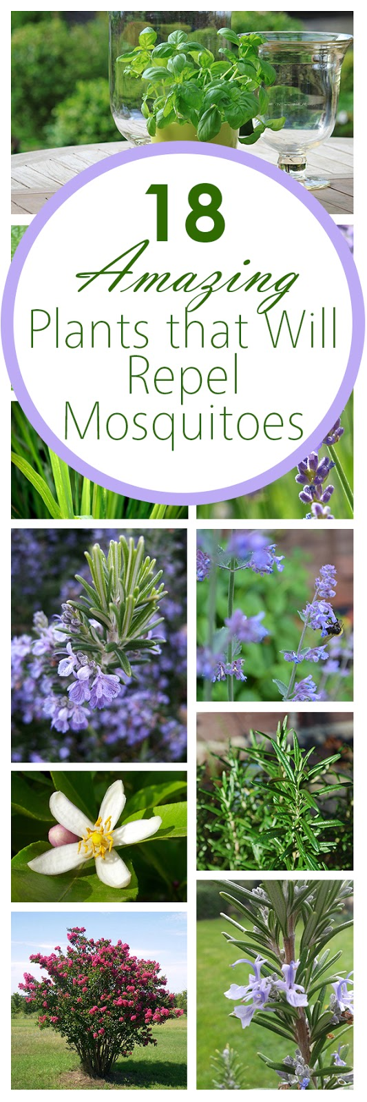 Plants that keep the mosquitoes away everything about garden for What plants naturally repel mosquitoes