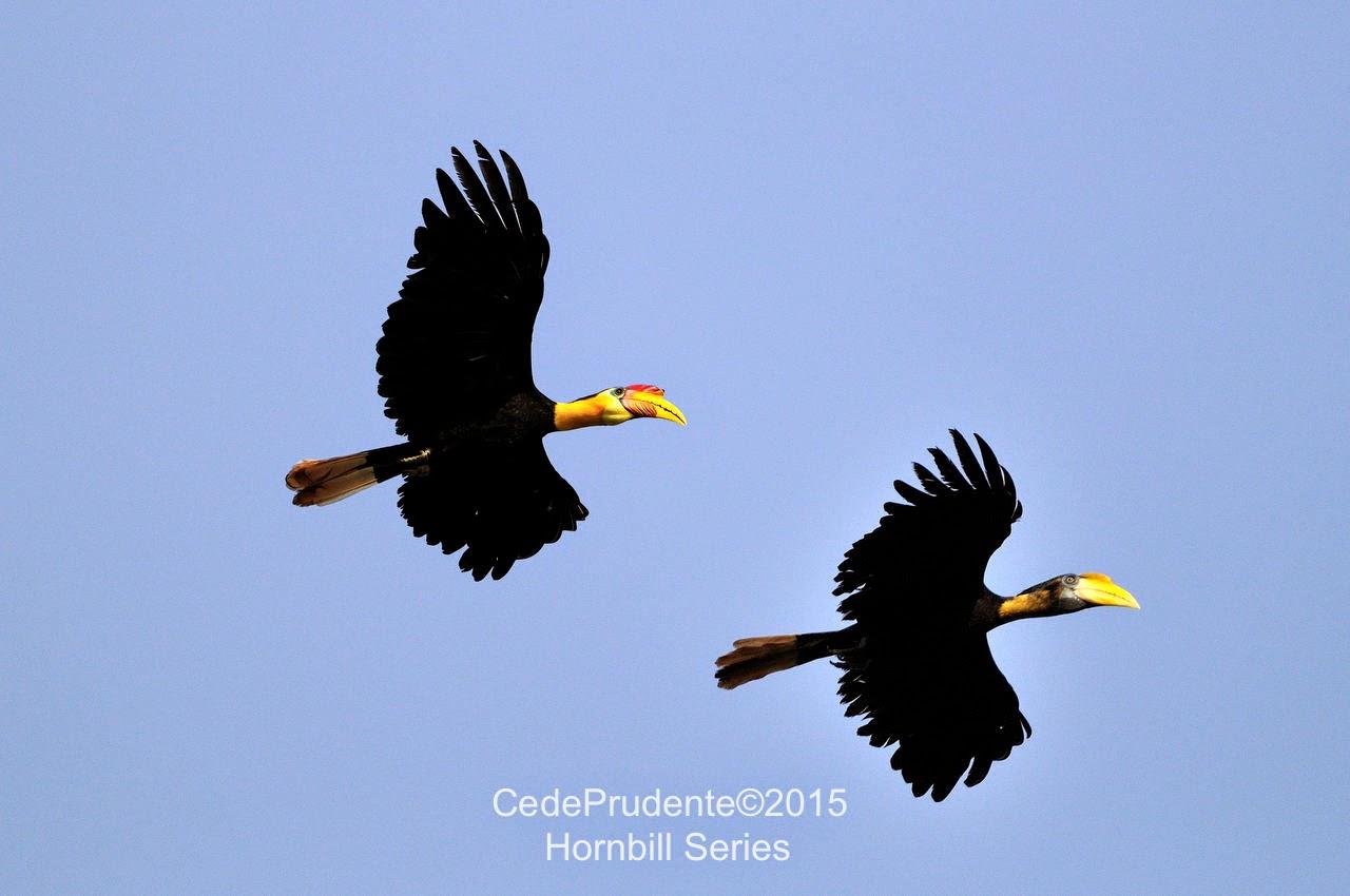 Borneo Safari Hornbills Of Borneo