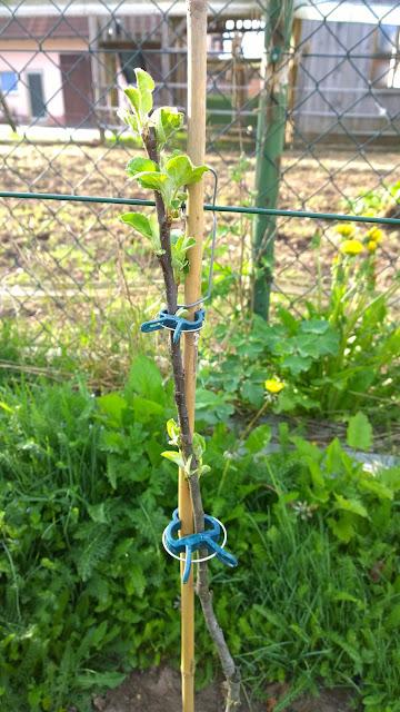 neu gepflanzte Spalieräpfel treiben (c) by Joachim Wenk