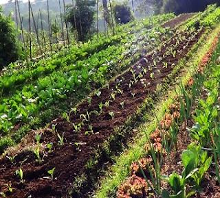agrowisata-kebun-sayuran-organik-agatho-cisarua-bogor
