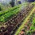 agrowisata kebun sayuran organik agatho cisarua bogor