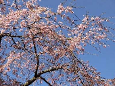 浄智寺の枝垂桜