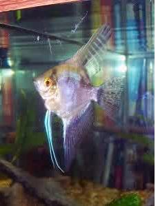 Inilah Jenis-Jenis Ikan Manfish/(Angelfish) Smokey