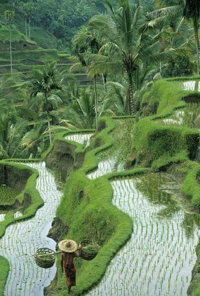 Pemandangan Sawah di Desa Pulau Jawa