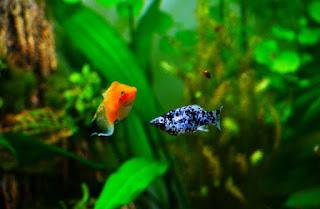 Jenis Ikan Aquascape Terindah