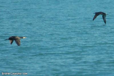 Juvenil de mascarell i corb marí gros