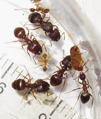 The median worker, major worker, minor workers and queen of a rare Pheidole species