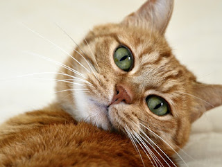 Close-up of an orange tabby's face.