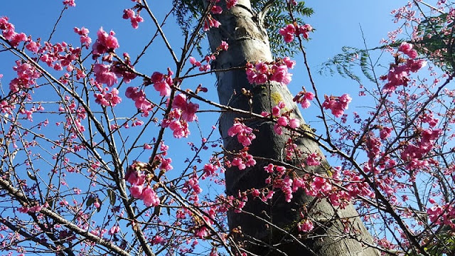 Sapa Peach Blossom Bloom In The Middle Of Winter 1