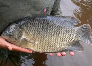Cara Budidaya Ikan Gurame Agar Cepat Besar