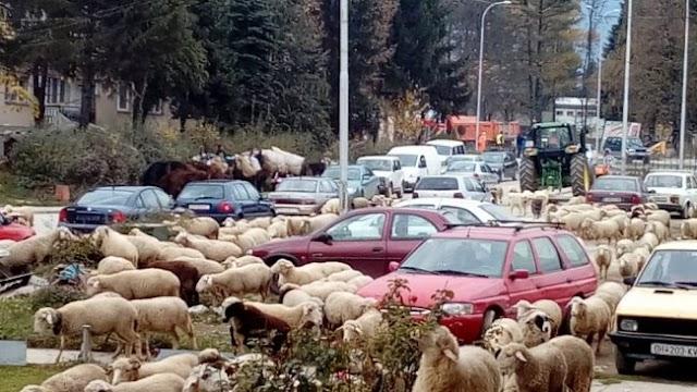 Bild des Tages - Invasion der Schafe in Kichevo