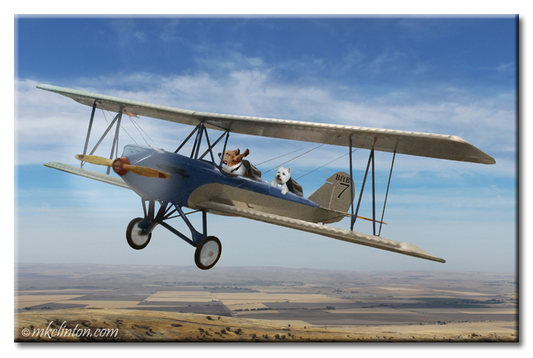 Basset Hound and Westie flying a plane Copyrighted photo