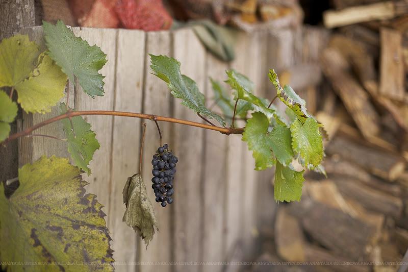 самый вкусный виноград из сада
