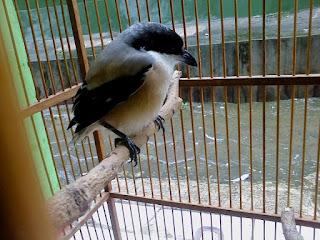 Burung Cendet - Perawatan Burung Cendet Mabung dan Tanda-Tanda Burung Cendet Mabung - Penangkaran Burung Cendet