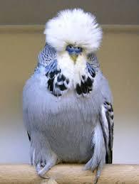 Kuşlar Hakkinda Yararli Bilgiler Jumbo Muhabbet Kuşu