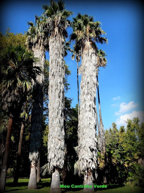 folhas Washingtonia filifera