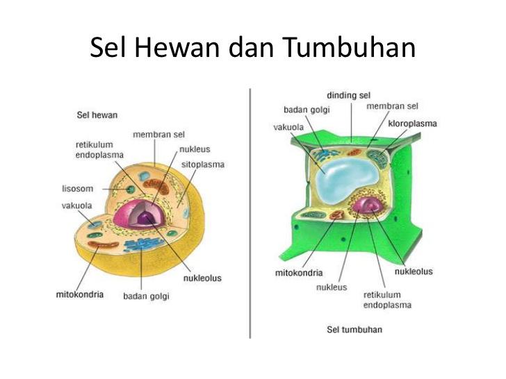 SEL (Pengertian, Sejarah, Jenis dan Perbedaan Struktur Sel ...