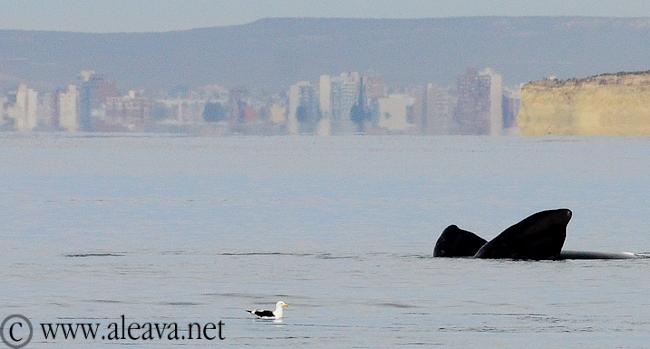 avistajes de ballenas en Puerto Madryn, Playa El Doradillo, para verlas desde la playa