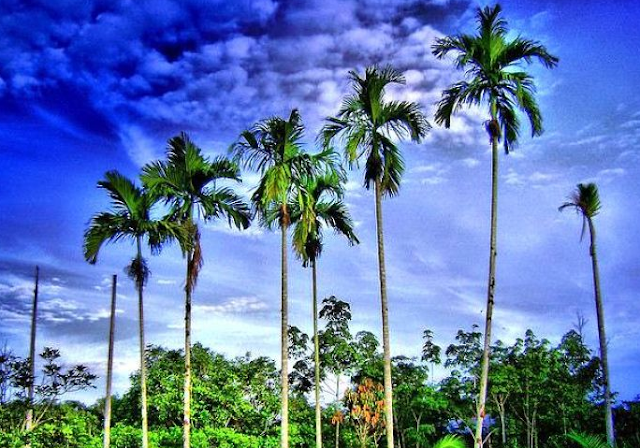 Pinang (Areca catechu) - 10 Contoh Tumbuhan Monokotil Beserta Gambar dan Ciri-Cirinya Lengkap