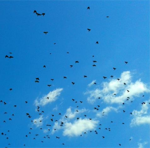 Tiszta, napfényesen kék, derült nyári égbolton fekete madarak, seregélyek vagy varjak repülnek csapatban fehér, szórványos gomolyfelhők előtt.