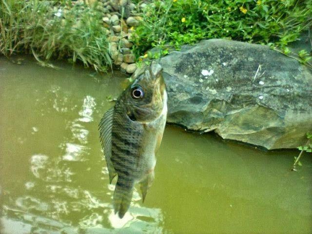 Gambar dan Foto Klasifikasi Morfologi Ikan Mujair