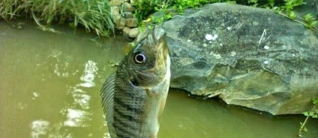 Klasifikasi Morfologi Ikan Mujair Lengkap dengan Asal Usul di Indonesia
