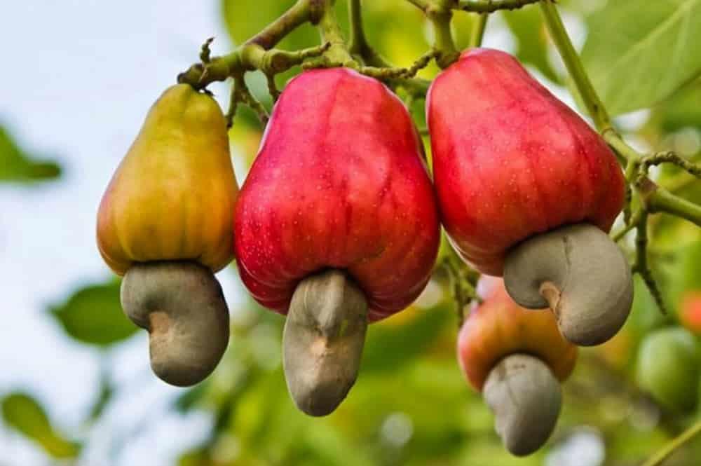 Fruits de l'Anacarde : pomme plus noix de cajou