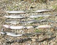 Foto cover Verwachte effecten langdurige droogte op vissen