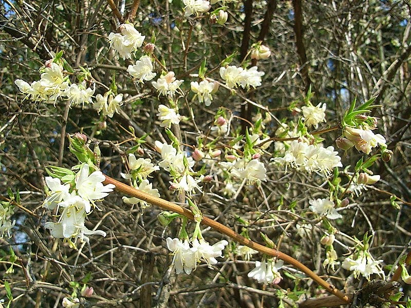 Spring Blooming Bushes Are First Rate Yard Accents