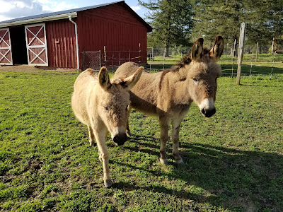 Two miniature donkeys in a paddock
