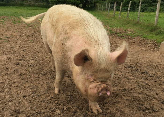 A pig at Thornhill farm shop