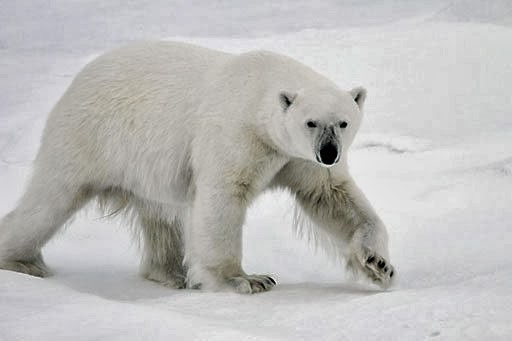 An adult polar bear