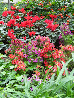 Red schizanthus and cyclamen at Allan Gardens Conservatory 2016 Spring Flower Show by Paul Jung Gardening Services