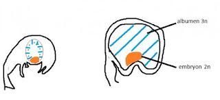 zygote accessoire triploïde