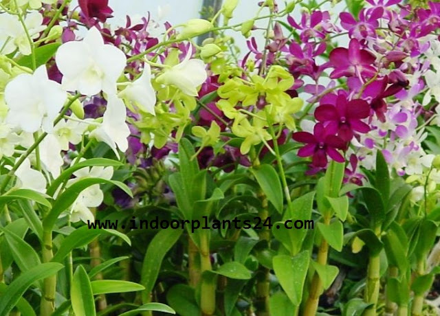 Beautiful orchid flowers PHOTO PICTURE