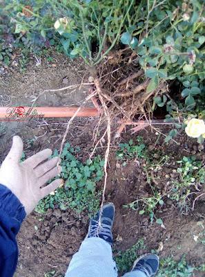 Naše ruže imaju zdrav i snažan korijen.  Samo snažan korijen daje bujno stablo.