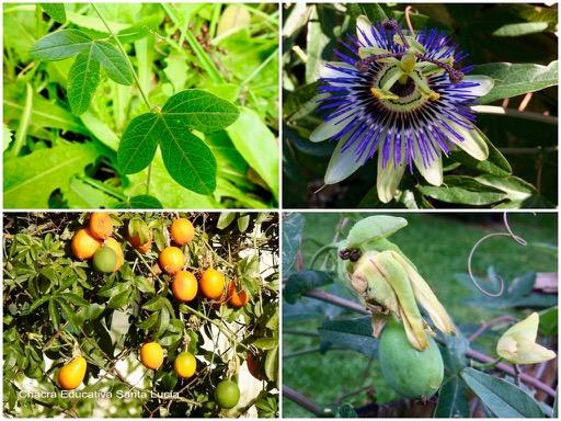 Ciclo del mburucuyá: hojas, flor, fruto en desarrollo y frutos maduros - Chacra Educativa Santa Lucía