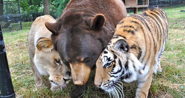 El libro de la Selva y un León