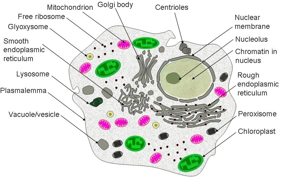 Brief Review Of Prokaryotic And Eukaryotic Cell