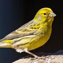 Harga Burung Kenari Isian Gacor 2019