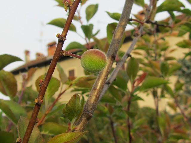 Fruttificini  biricoccolo