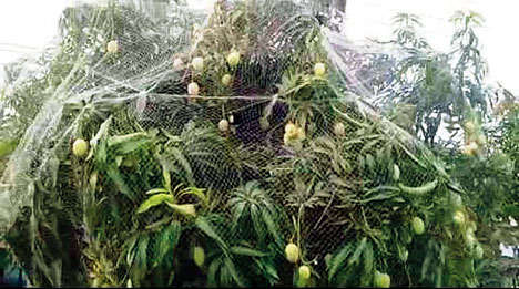 mango tree covered in a net in Malda