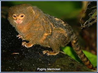 Pygmy Marmoset (Marmoset Kerdil)