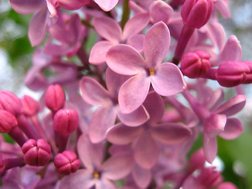 Inkspired Musings Lilacs New Hampshire And Walt Whitman