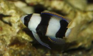 Lipogramma Evides - ikan Banded basslet