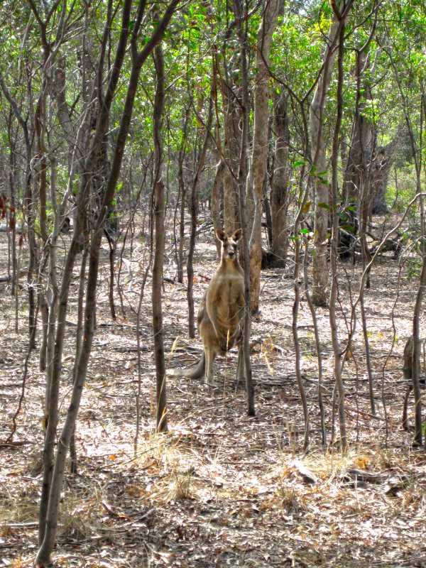 kangaroo, Melbourne