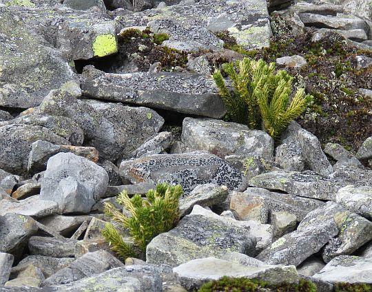 Wroniec widlasty, widłak wroniec (Huperzia selago).