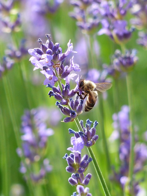 Picture of a bee feeding on a flower stem of English Lavender Hidcote Blue.